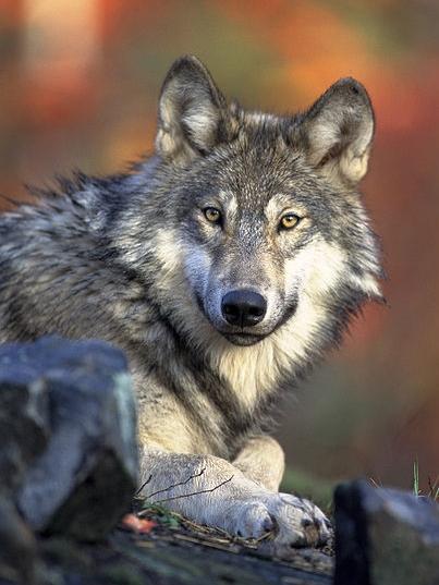 Att vara anhörigvårdare - Jagad av vargar