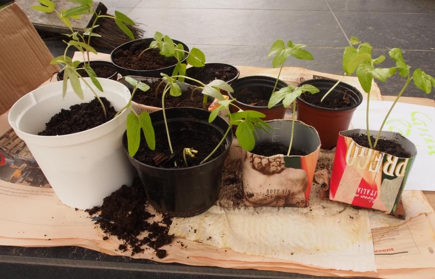 Ipomea och andra klängväxter