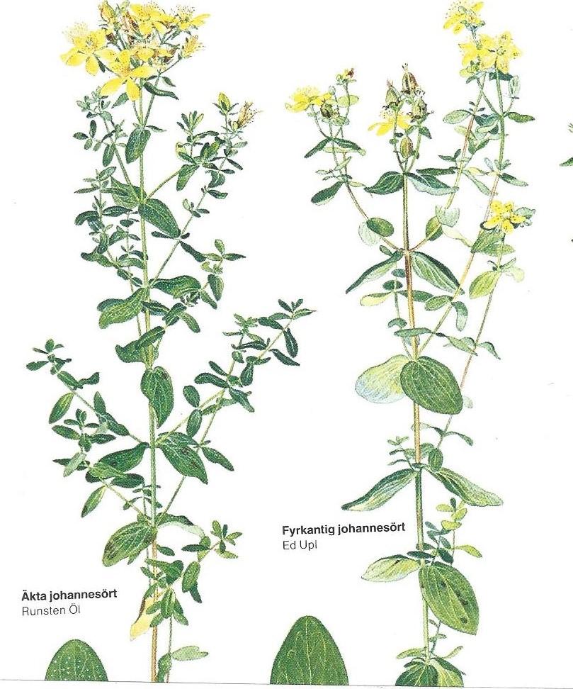 Johannes Döparens dag och hans gula blomma