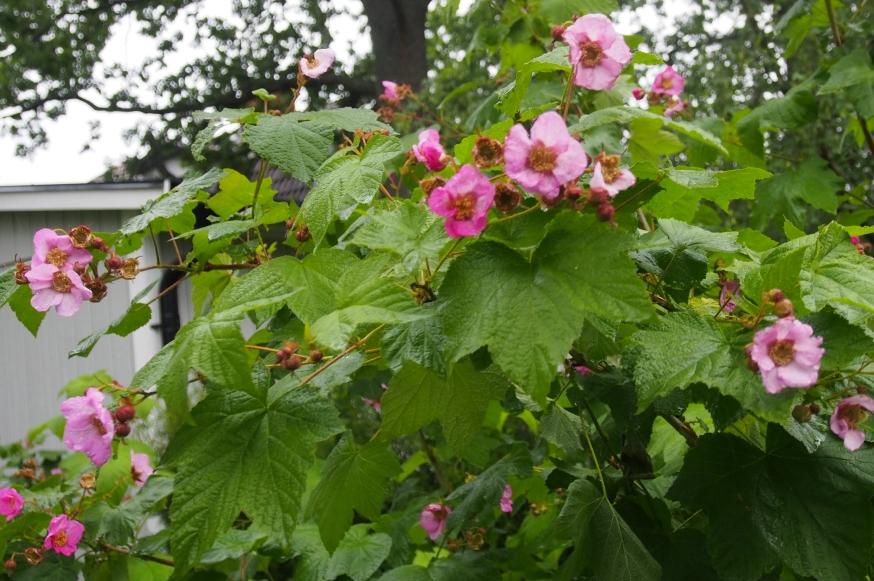 """Rosenhallon – """"och häcken växte kämpahög . . . """""""