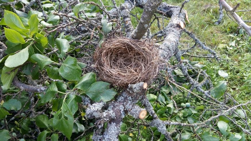 Fågelbo plommomträd2016-07-20 16.13.46